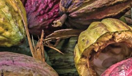 Sao-Tome-cacao-1024x398