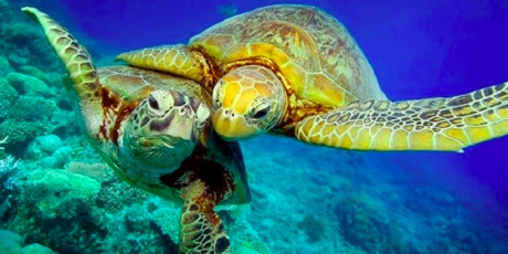 14854_KISSING TURTLES_1_460x230