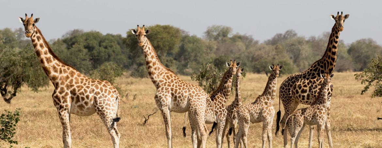 chad-giraffe-family